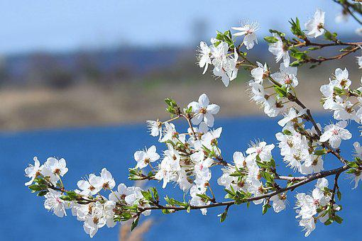 Flowering Twig, Flowers, Blossom, Spring