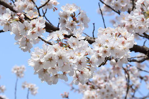 Flowers, Cherry Blossoms, Flowering, White, Spring