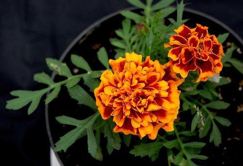 Flowers, Orange, Flower Pot