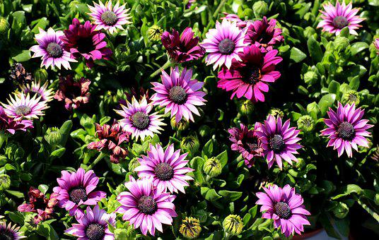 African Daisy, Bone, Flowers, Violet, Spring, Nature