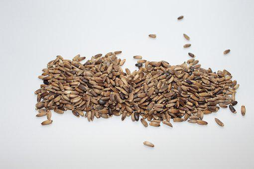 Milk Thistle, Milk Thistle Seed, For Sprouting, Black