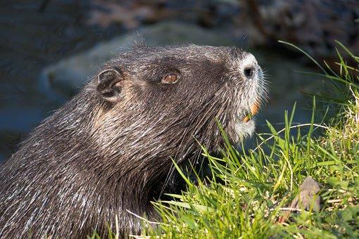 Nutria, Coypu, Beaver Tail, Rat Tail, Fur, Rodent