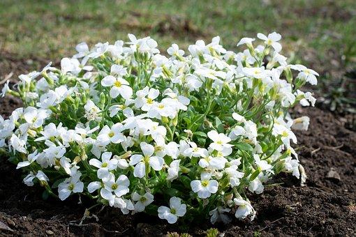 Cushion Flower, White, Garden, Flowers, Small Flower