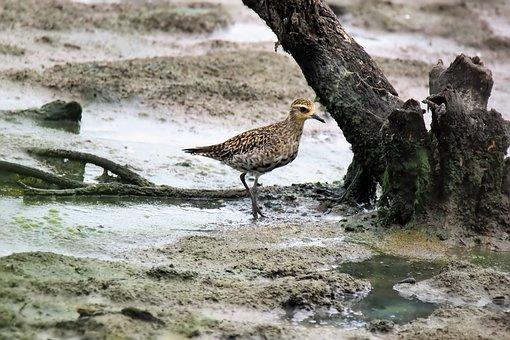 Wild, Bird, Migratory, Golden, Plover, Animal, Wildlife