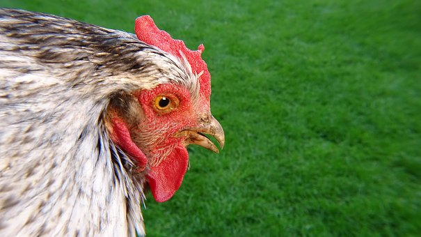 Chicken, Green, Nature, Grass, Bird, Animal, Poultry