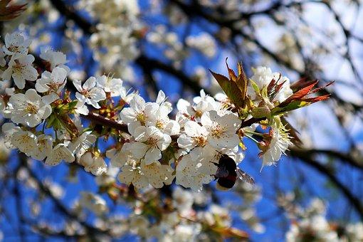 Hummel, Apple Tree Flowers, Apple Blossom Branch