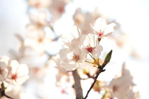 Japan, Cherry Blossoms