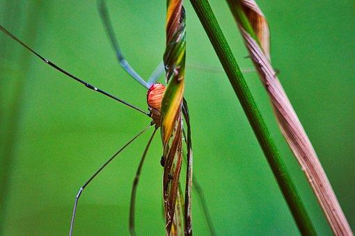 Weber Servant, Spider, Nature, Arachnid, Legs, Close Up