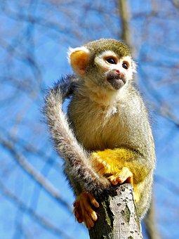 Monkey, Squirrel Monkey, Mammal, Cute, Climb, Animal