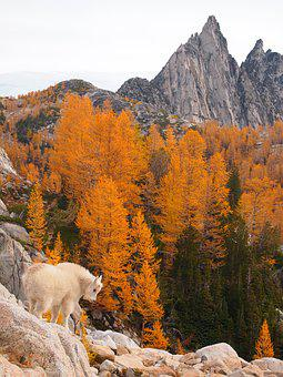 Enchantments, Cascade Mountains, Mountain Goat Kid