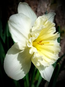 Daffodil, Spring, Yellow, Flower, Bloom, Perennial