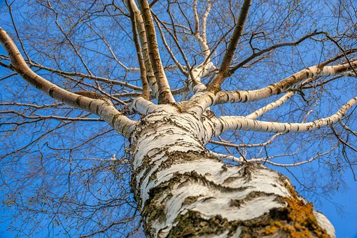 Birch, Tree, Nature, Plant, Perspective, Landscape, Sky