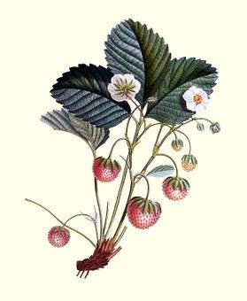 Strawberry Plant, Strawberry, Strawberries, Plant, Food