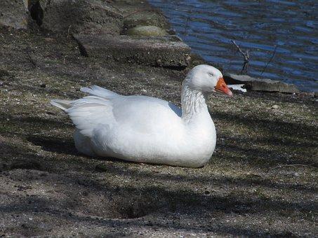 Duck, White, Cute, Water Bird, Plumage, Happy, Spa