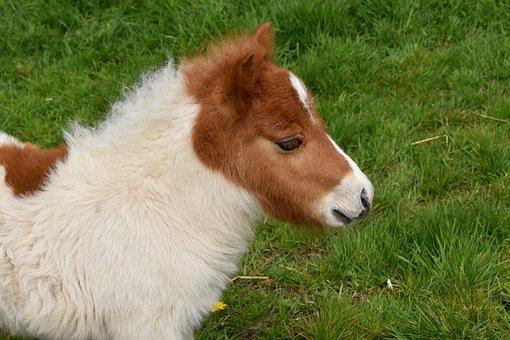 Pony, Shetland Pony, Shetland Pony Jarod, Baby Foal