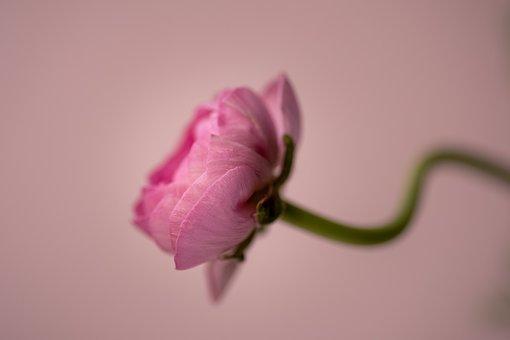 Flower, Pink, Macro, Love, Bends, Soft, Summer, Spring