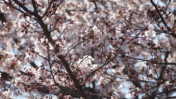 Cherry Blossoms, Sakura, Pink, Spring, Flower, Japan
