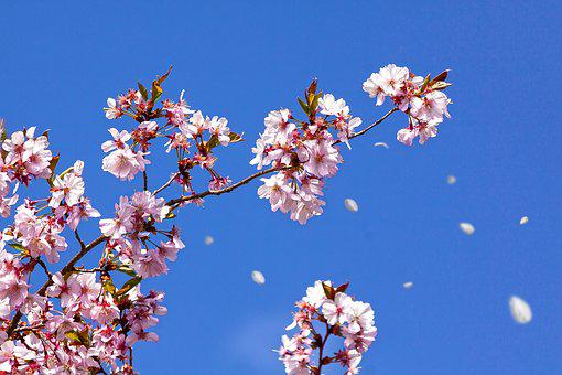 Spring, Cherry Blossom, Japanese Cherry Trees, Sun