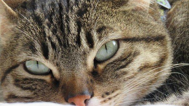 Cat, Feline, Pet, Animals, Cute, Mammals, Tamed