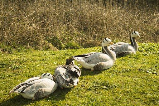 Geese, Nature, Wild Geese, Migratory Birds, Waterfowl