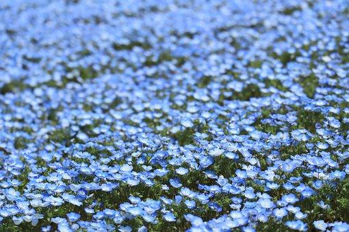 Natural, Flowers, Spring, Nemophila, Blue, 瑠璃唐草
