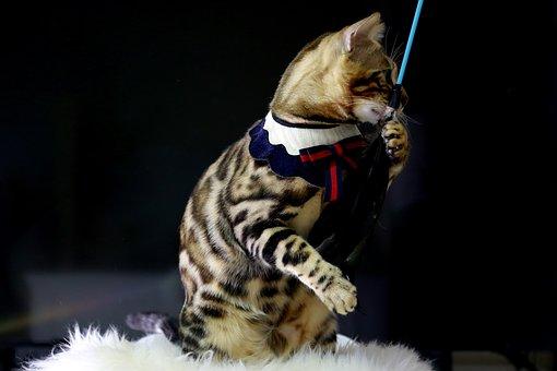 Cat, Bengal Cat, Baby Cats, Animal, Bengal, Pets