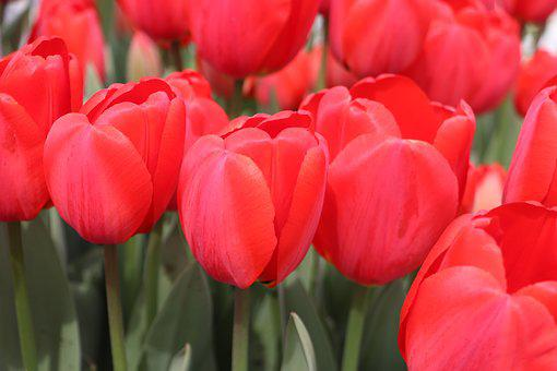 Tulip, Tulips, Flower, Beautiful, Nature, Tulipa