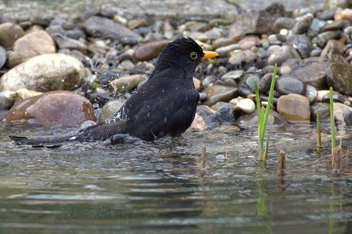 Blackbird, Swim, Water, Water Splashes, Pond, Stones
