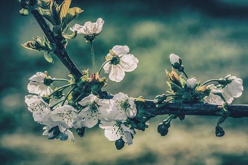 Cherry Blossoms, Tree, Branch, Blossom, Bloom, White
