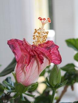 Hyacinth, Flower, Bloom, Spring, Garden, Nature