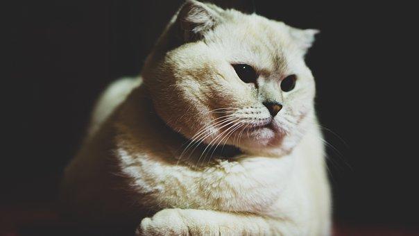 Cat, Scottis Fold, Beautiful, Fluffy, White, Breed