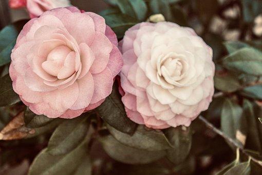 Camellias, Flowers, Soft, Pink, Flora, Bush, Beautiful