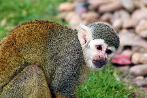 Monkey, Squirrel Monkey, Mammal, Cute, Primate, Zoo