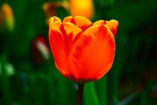 Flower, Tulip, Color, Flora, Flowers, Spring, Tulips