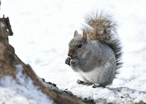 Animal, Mammal, Gray, Squirrel, Nature