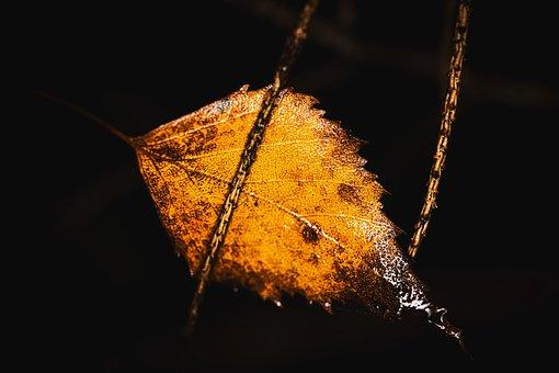 Birch Leaf, Withered, Wet, Autumn, Nature, Rain, Macro