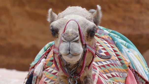 Camel, Animal, Mammals, Animal World Of, Desert, Cute