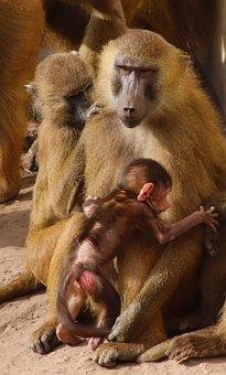 Baboon, Baby, Monkey, Mammal, Primate, Animal, Cute