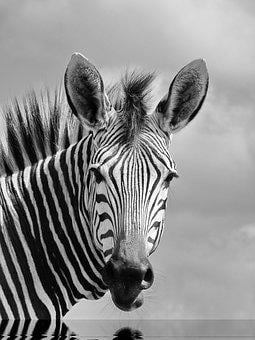 Hartmann's, Mountain Zebra, Zebra, Africa, Stripes