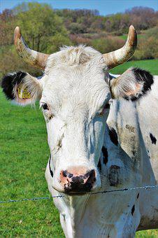 Cow, Horns, Animal, Cattle, Nature, Pasture