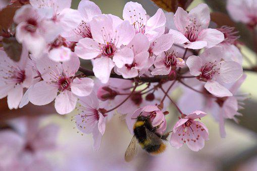 Hummel, Cherry Blossom, Blossom, Bloom, Nature, Spring