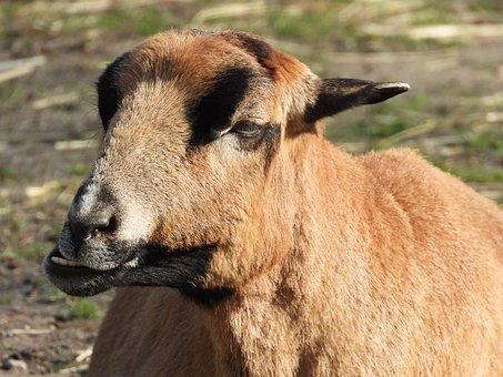Animal, Goat, Mammal, Mammals, Zombies, Occlusion