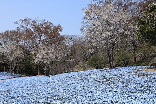 Landscape, Park, Spring, Nemophila, Flowers, Wood