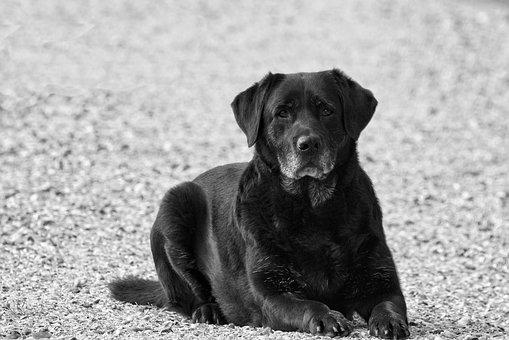 Labrador, Black, Dog, Pet, Animal, Animals, Retriever