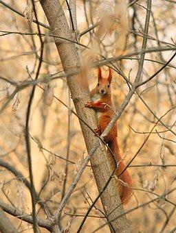 Red Squirrel, Protein, Eurasian Red Squirrel