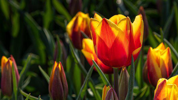 Flower, Tulip, Spring, Red, Yellow, Petals, Leaf, Green
