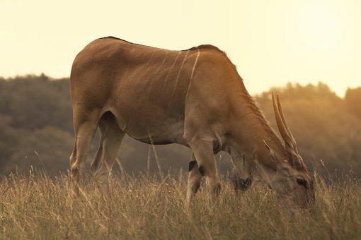 Animal, Antelope, Africa, Nature, Safari, Wild, Gazelle