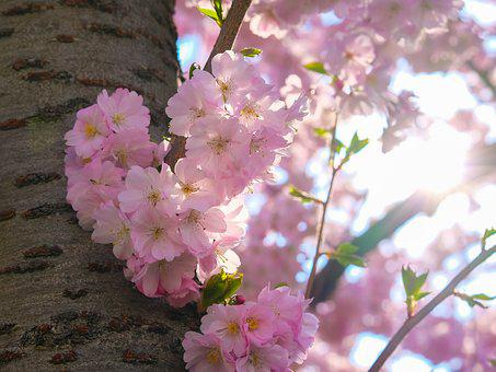 Sakura, Cherry, Blossom, Bloom, Spring, Nature, Pink