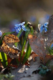 Snowdrop, Early Spring, Blue, Scilla, The Glare