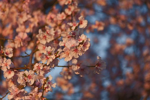 Almond Flowers, Pink, F, Almond Blossom, Spring, Bloom